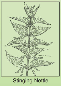 stingingnettle